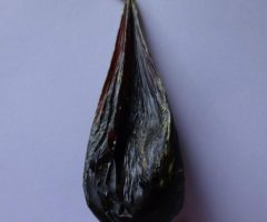 Black bear gallbladder for sale, 53 gr. bear bile for sale