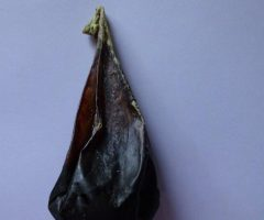 Black bear bile for sale, 40 gr.