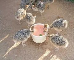 Ostrich chicks for sale from 1 week to six months old